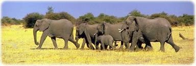 African elephants, wildlife in Africa