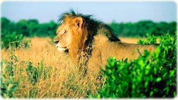 An African Lion in grassy plains