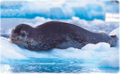Leopard seal, in Antarctica